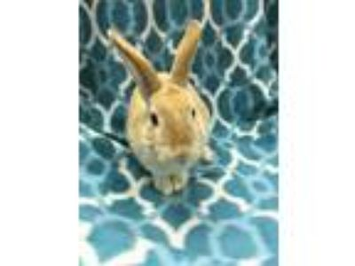 Adopt Clover a Orange Other/Unknown / Mixed (short coat) rabbit in Youngstown