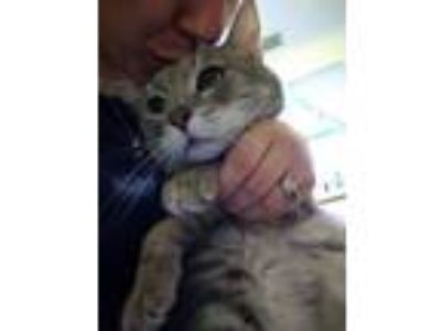 Adopt Cameron a Domestic Short Hair