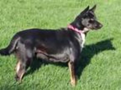 Adopt MISSY a German Shepherd Dog, Mixed Breed