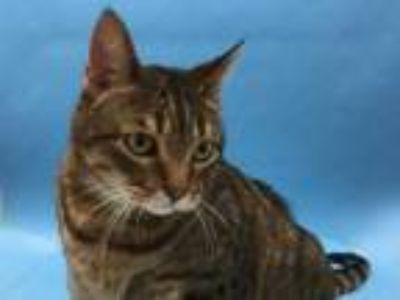 Adopt Kitten a Brown or Chocolate Domestic Shorthair / Mixed (short coat) cat in