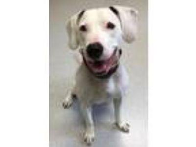 Adopt Faya a Beagle, Pit Bull Terrier