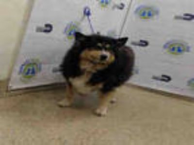 Adopt LINDA a Black - with Tan, Yellow or Fawn Collie / Mixed dog in Doral