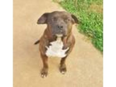 Adopt Bane a Brindle - with White American Staffordshire Terrier / Mixed dog in