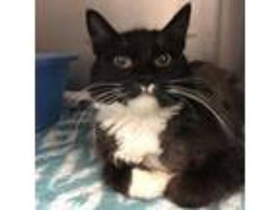 Adopt Little Miss Muffin a All Black Domestic Longhair / Domestic Shorthair /
