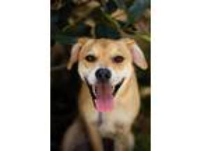 Adopt PENNY a Tan/Yellow/Fawn - with White Shepherd (Unknown Type) / Mixed dog