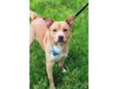 Adopt Maxwell a Nova Scotia Duck Tolling Retriever, Labrador Retriever