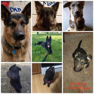 German Shepherd Dog PUPPY FOR SALE ADN-101475 - Pure Breed German Shepherd Pups