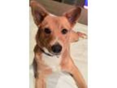 Adopt Rebecca a Tan/Yellow/Fawn Finnish Spitz / Basenji / Mixed dog in Spring