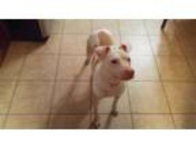 Adopt ZCL Honey a Pit Bull Terrier