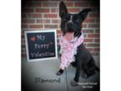 Adopt Diamond a Black - with White American Pit Bull Terrier / Mixed dog in