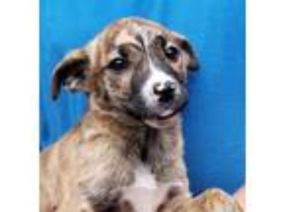 Adopt Baby Doll a Brindle - with White Catahoula Leopard Dog / Mixed dog in