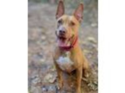 Adopt Fernanda a Pit Bull Terrier / Mixed dog in Alpharetta, GA (17714746)