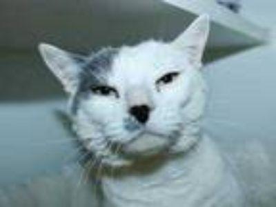 Adopt Snowball a White Domestic Mediumhair / Domestic Shorthair / Mixed cat in