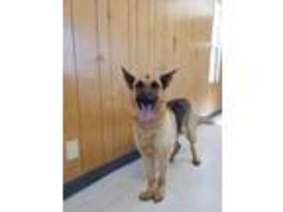 Adopt Roxie a Brown/Chocolate German Shepherd Dog / Mixed dog in Madera