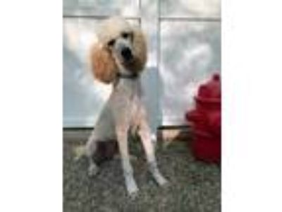 Adopt Riggs a Standard Poodle