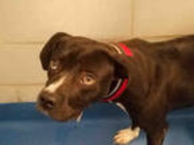 Adopt SANDERS a Black - with White Labrador Retriever / Mixed dog in Dallas