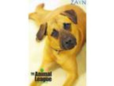 Adopt Zayn a Black Mouth Cur, Mastiff