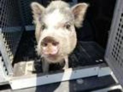 Adopt Bounce a Pig (Potbellied) / Pig (Potbellied) / Mixed farm-type animal in