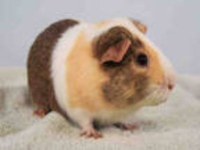 Adopt FALCO a White Guinea Pig / Mixed small animal in Loveland, CO (25352392)