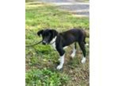 Adopt Saint a Black Labrador Retriever / Border Collie / Mixed dog in Walpole