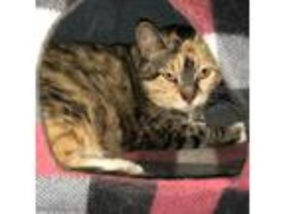 Adopt ROUSEY a Gray or Blue Domestic Shorthair cat in Kyle, TX (25348278)