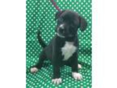 Adopt North a Black - with White Labrador Retriever / Beagle / Mixed dog in