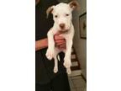 Adopt Bully/ Staffy Mix PUPPIES a American Staffordshire Terrier, Bullmastiff