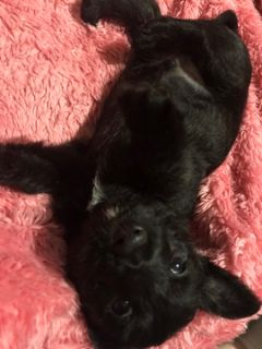 Scottish Terrier PUPPY FOR SALE ADN-102022 - Scottish terriers ckc certified