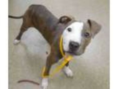 Adopt Puppy on DEATH ROW a Gray/Silver/Salt & Pepper - with White Pit Bull