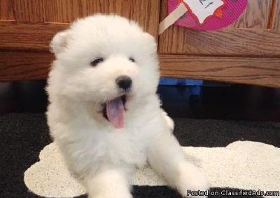 sefeewe Samoyed Pups Available Now