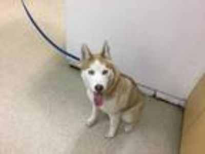 Adopt Dog a Red/Golden/Orange/Chestnut - with White Husky / Mixed dog in Jurupa