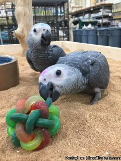 BEAUTIFUL AFRICAN GREY PARROTS FOR SALE NOW
