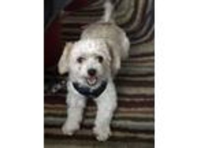 Adopt Taquito a Havanese, Poodle