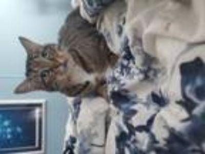 Adopt Ava a American Shorthair, Tabby