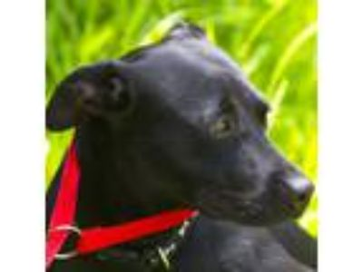 Adopt Biscuit a Black Retriever (Unknown Type) / Mixed Breed (Medium) / Mixed