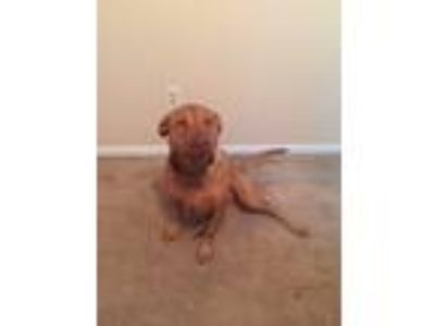 Adopt Cali a Tan/Yellow/Fawn Rhodesian Ridgeback / Labrador Retriever / Mixed