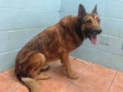 Adopt SECURITY a Black - with Tan, Yellow or Fawn German Shepherd Dog / Mixed