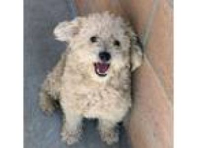Adopt Steady Eddy a Poodle, Mixed Breed