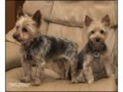 Adopt Quincy and Willy a Yorkshire Terrier