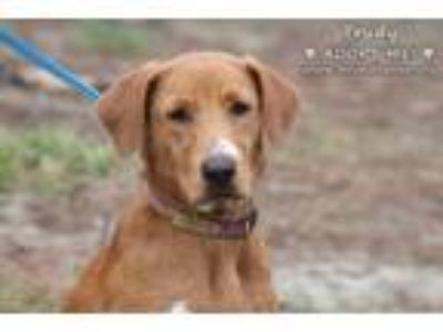 Adopt Trudy a Tan/Yellow/Fawn - with White Vizsla / Mixed dog in Minneola