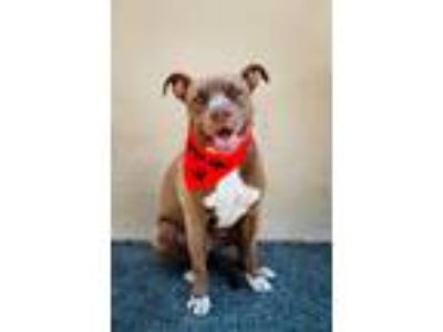 Adopt Kodak-ADOPT Me! a Brindle - with White Pit Bull Terrier / Mixed dog in
