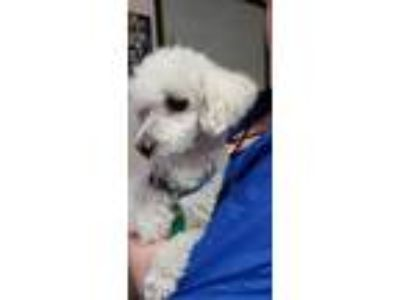 Adopt Bubba a White Poodle (Miniature) / Mixed dog in Yelm, WA (25911747)