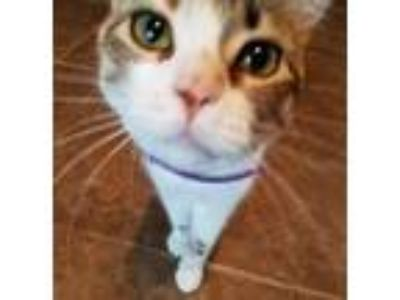 Adopt Bowie a Calico or Dilute Calico American Shorthair cat in Minneola
