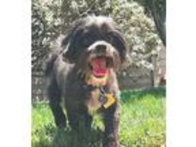 Adopt Gigi a Black - with Gray or Silver Shih Tzu / Brussels Griffon / Mixed dog