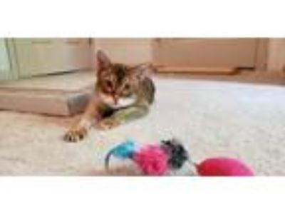 Adopt Poppy a Abyssinian