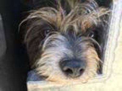 Adopt BUSTER a Tricolor (Tan/Brown & Black & White) Jack Russell Terrier / Mixed