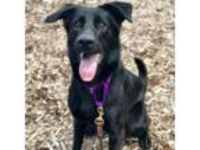 Adopt Loca a Labrador Retriever, Collie