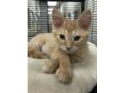 Adopt Alpha a Domestic Mediumhair / Mixed cat in Birmingham, AL (25830139)