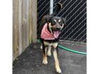 Adopt Carter a Black Shepherd (Unknown Type) / Mixed Breed (Large) dog in Island