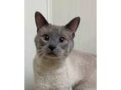 Adopt SIRICHAI a Cream or Ivory Siamese (short coat) cat in Kenosha
